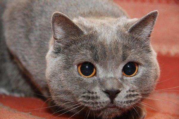 Горячие уши и нос у кота
