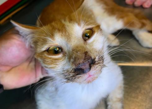 Инфекционные болезни кошек и котов