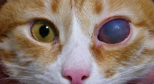 глазные болезни кошек и котов